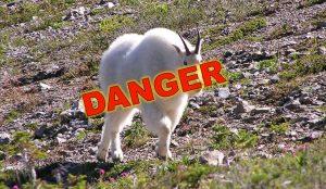 goat-danger